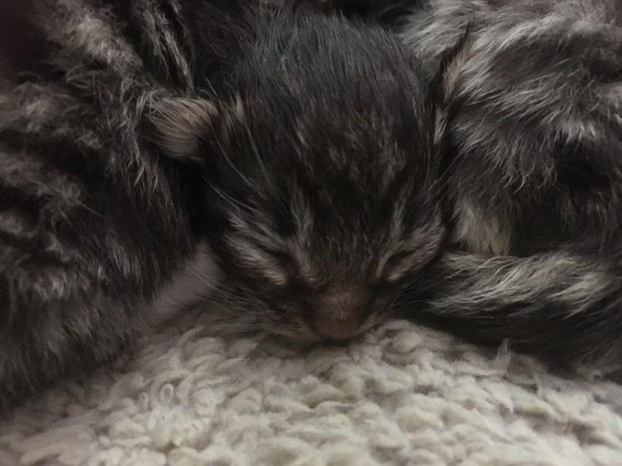 Kittens Smilla en Dexter